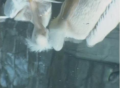 Pelikane.jpg
